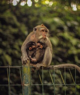 This new mumma and her two babies 😍  These little guys will have a lifespan for 20 years! .🐒 Watch out though, because they love to try and steal your sunglasses 🕶 . Want to come stroll around Tabanan Monkey forest ?? Sign up to our Ubud weekend trip and see these cheeky monkeys in the local forest they call home! 🐒 . #pmgybali #baliguide #volunteerbali #baliindonesia #pmgy #volunteerabroad #volunteerbali #baliguide #monkeys #balivibes